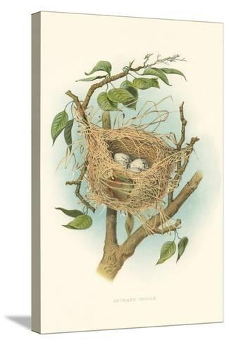 Orchard Oriole Nest and Eggs--Stretched Canvas Print