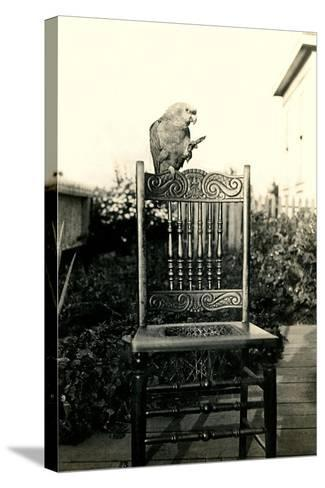 Parrot on Chair Back--Stretched Canvas Print