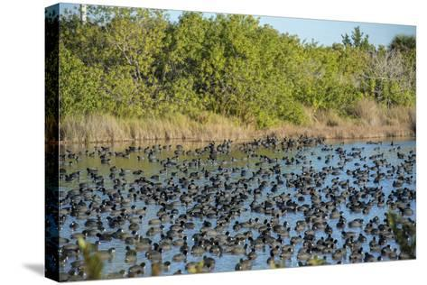 USA, Florida, Merritt Island, National Wildlife Refuge, American Coot.-Lisa S^ Engelbrecht-Stretched Canvas Print