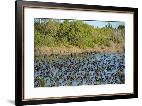 USA, Florida, Merritt Island, National Wildlife Refuge, American Coot.-Lisa S^ Engelbrecht-Framed Art Print