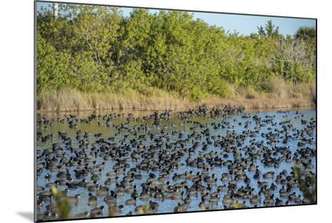USA, Florida, Merritt Island, National Wildlife Refuge, American Coot.-Lisa S^ Engelbrecht-Mounted Photographic Print