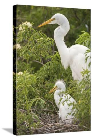 USA, Florida, Orlando. Great Egret and baby egret at Gatorland.-Lisa S^ Engelbrecht-Stretched Canvas Print