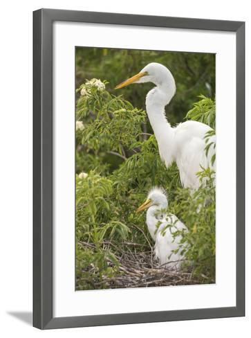 USA, Florida, Orlando. Great Egret and baby egret at Gatorland.-Lisa S^ Engelbrecht-Framed Art Print