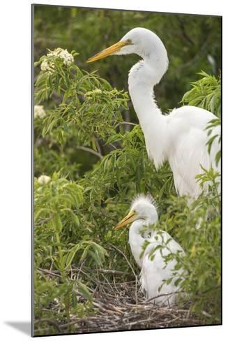 USA, Florida, Orlando. Great Egret and baby egret at Gatorland.-Lisa S^ Engelbrecht-Mounted Photographic Print