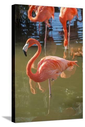 USA, Florida, Orlando. Pink Flamingos at Gatorland.-Lisa S^ Engelbrecht-Stretched Canvas Print