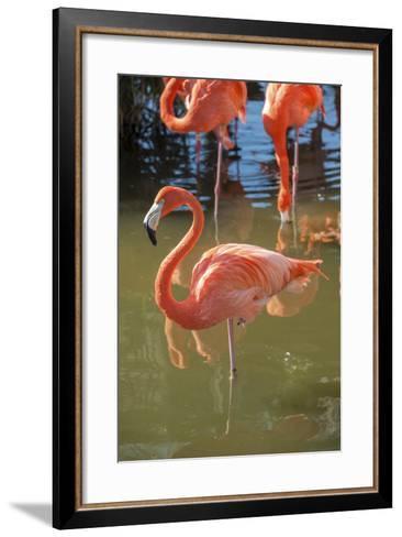 USA, Florida, Orlando. Pink Flamingos at Gatorland.-Lisa S^ Engelbrecht-Framed Art Print
