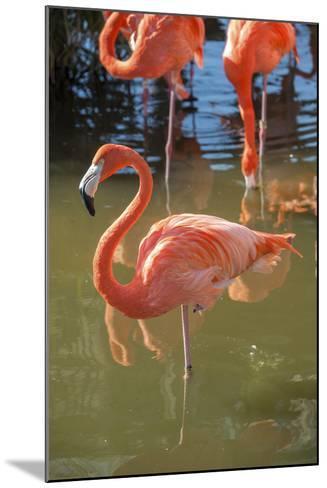 USA, Florida, Orlando. Pink Flamingos at Gatorland.-Lisa S^ Engelbrecht-Mounted Photographic Print