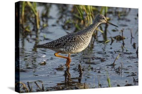 USA, Oregon, Baskett Slough NWR, Lesser Yellowlegs foraging.-Rick A^ Brown-Stretched Canvas Print