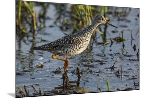 USA, Oregon, Baskett Slough NWR, Lesser Yellowlegs foraging.-Rick A^ Brown-Mounted Photographic Print
