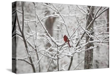 Cardinal on Snow Covered Trees-Henri Silberman-Stretched Canvas Print