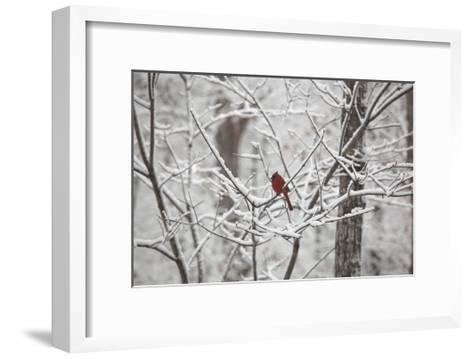 Cardinal on Snow Covered Trees-Henri Silberman-Framed Art Print