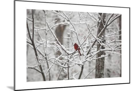 Cardinal on Snow Covered Trees-Henri Silberman-Mounted Photographic Print
