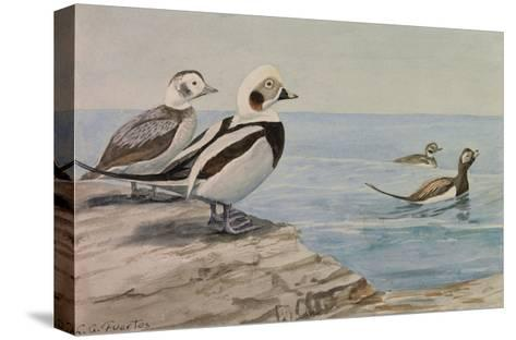 A Painting of Long-Tailed Ducks, Clangula Hyemalis-Louis Agassi Fuertes-Stretched Canvas Print