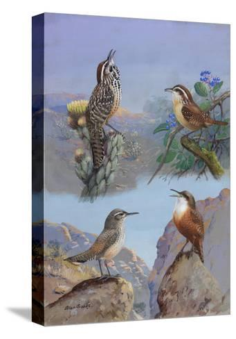 A Painting of Several Wren Species-Allan Brooks-Stretched Canvas Print