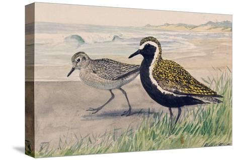A Painting of Two Golden Plovers in Winter and Summer Plumage-Louis Agassi Fuertes-Stretched Canvas Print