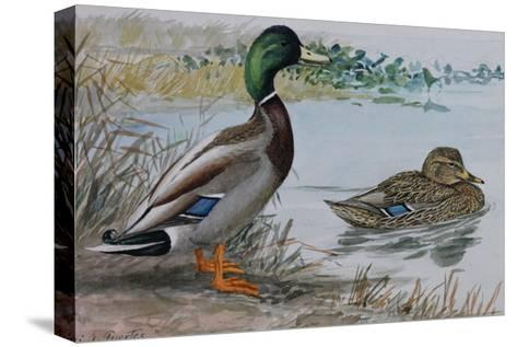 A Painting of a Male and a Female Mallard-Louis Agassi Fuertes-Stretched Canvas Print
