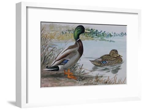 A Painting of a Male and a Female Mallard-Louis Agassi Fuertes-Framed Art Print