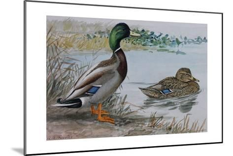 A Painting of a Male and a Female Mallard-Louis Agassi Fuertes-Mounted Giclee Print