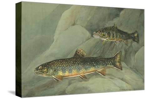 A Painting of a Pair of Brook Trout Swimming over Rocks-Hashime Murayama-Stretched Canvas Print