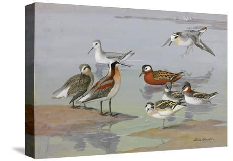 A Painting of Three Species of Phalaropes-Allan Brooks-Stretched Canvas Print