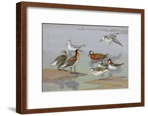 A Painting of Three Species of Phalaropes-Allan Brooks-Framed Art Print