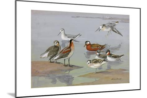 A Painting of Three Species of Phalaropes-Allan Brooks-Mounted Giclee Print
