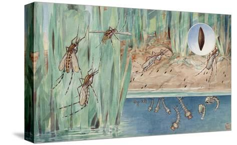 An Illustration of the Life Cycle of Salt-Marsh Mosquitoes-Hashime Murayama-Stretched Canvas Print