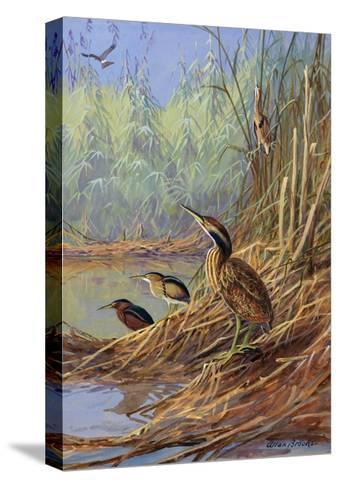 The Brown Feathers of Bitterns Blend with the Variegated Surrounding-Allan Brooks-Stretched Canvas Print