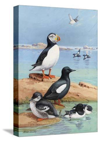 A Painting of an Atlantic Puffin, Black Guillemots, and Dovekies-Allan Brooks-Stretched Canvas Print