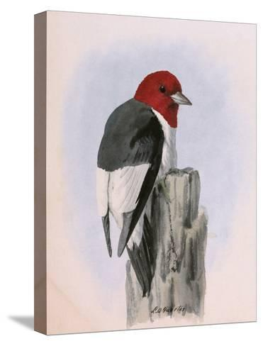 A Painting of a Red-Headed Woodpecker Perched on a Tree Stump-Louis Agassi Fuertes-Stretched Canvas Print