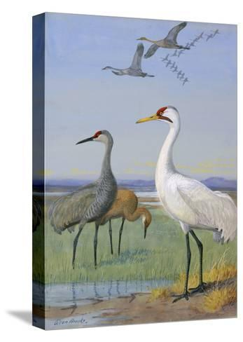 A Painting of Three Species of Cranes-Allan Brooks-Stretched Canvas Print