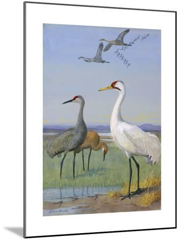 A Painting of Three Species of Cranes-Allan Brooks-Mounted Giclee Print