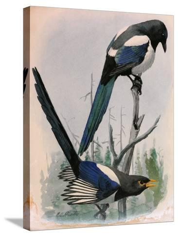 A Painting of Two Species of Magpie Perched on Tree Branches-Louis Agassi Fuertes-Stretched Canvas Print
