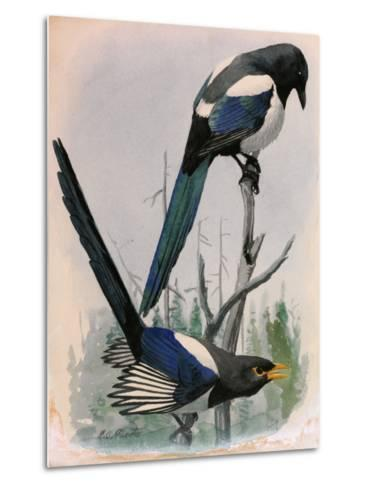 A Painting of Two Species of Magpie Perched on Tree Branches-Louis Agassi Fuertes-Metal Print