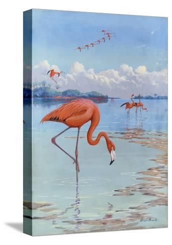 Flamingos Wade in Shallow Tropical and Subtropical Waters-Allan Brooks-Stretched Canvas Print