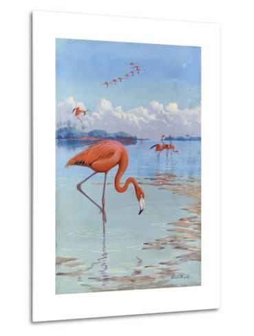 Flamingos Wade in Shallow Tropical and Subtropical Waters-Allan Brooks-Metal Print