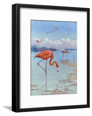 Flamingos Wade in Shallow Tropical and Subtropical Waters-Allan Brooks-Framed Art Print