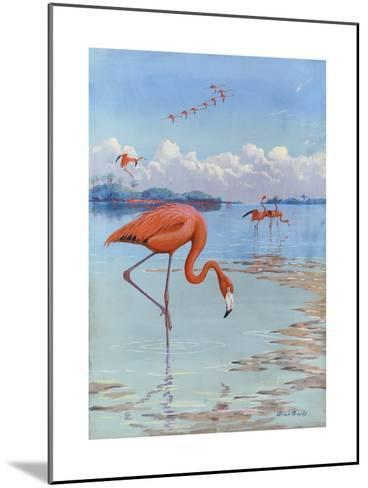 Flamingos Wade in Shallow Tropical and Subtropical Waters-Allan Brooks-Mounted Giclee Print