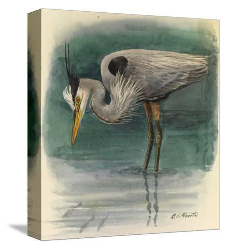 A Painting of a Great Glue Heron Hunting for Fish in Shallow Water-Louis Agassi Fuertes-Stretched Canvas Print
