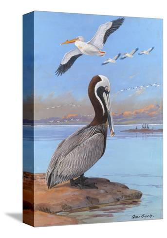 A Painting of Two Different Species of Pelican-Allan Brooks-Stretched Canvas Print