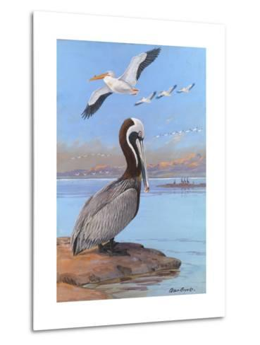 A Painting of Two Different Species of Pelican-Allan Brooks-Metal Print