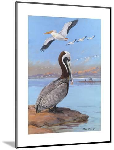 A Painting of Two Different Species of Pelican-Allan Brooks-Mounted Giclee Print