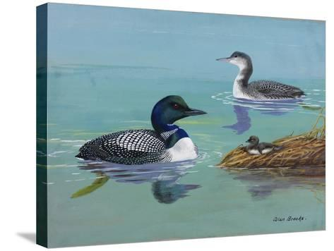 A Painting of Three Loons at Different Life Stages-Allan Brooks-Stretched Canvas Print