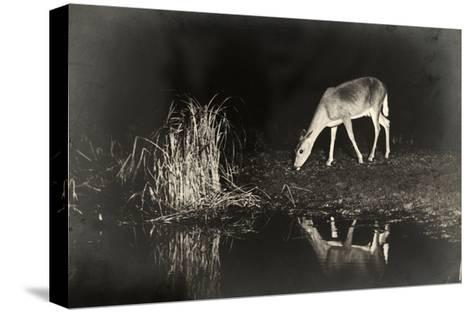 A View of a Red Deer's Reflection in the Lake as it Eats-George Shiras-Stretched Canvas Print