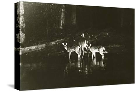 A Doe and Her Fawns are Caught by a Camera-George Shiras-Stretched Canvas Print