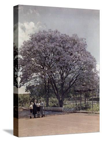 Locals Relax under a Blooming Jacaranda Tree-Melville Chater-Stretched Canvas Print