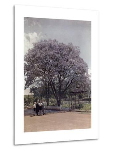 Locals Relax under a Blooming Jacaranda Tree-Melville Chater-Metal Print