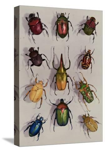 A Group of Scarabs from the Scarabaeid Family-Edwin L^ Wisherd-Stretched Canvas Print