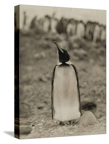 A Prospective Parent Penguin Shows Off its Superior Attitude-Robert Cushman Murphy-Stretched Canvas Print
