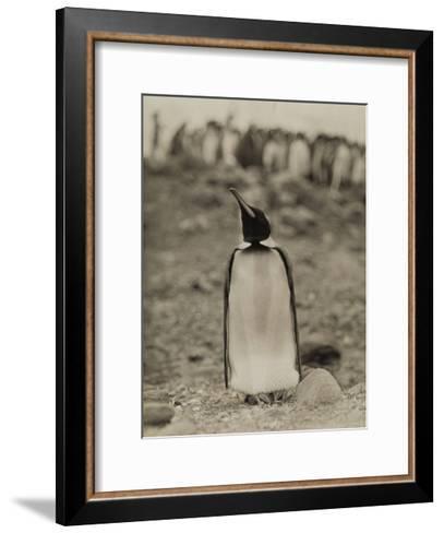 A Prospective Parent Penguin Shows Off its Superior Attitude-Robert Cushman Murphy-Framed Art Print